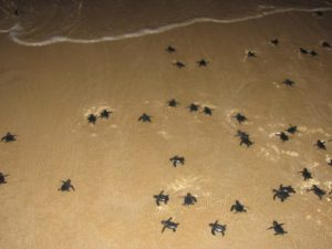 Green sea turtle hatchlings 1