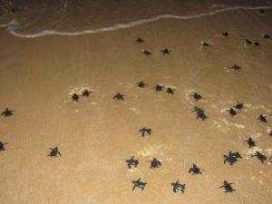 Green sea turtle hatchlings 1